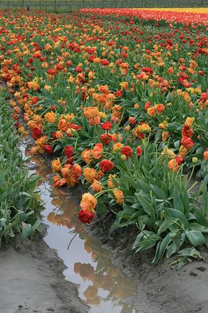 Skagit Valley Tulip Festival 4-21-2010