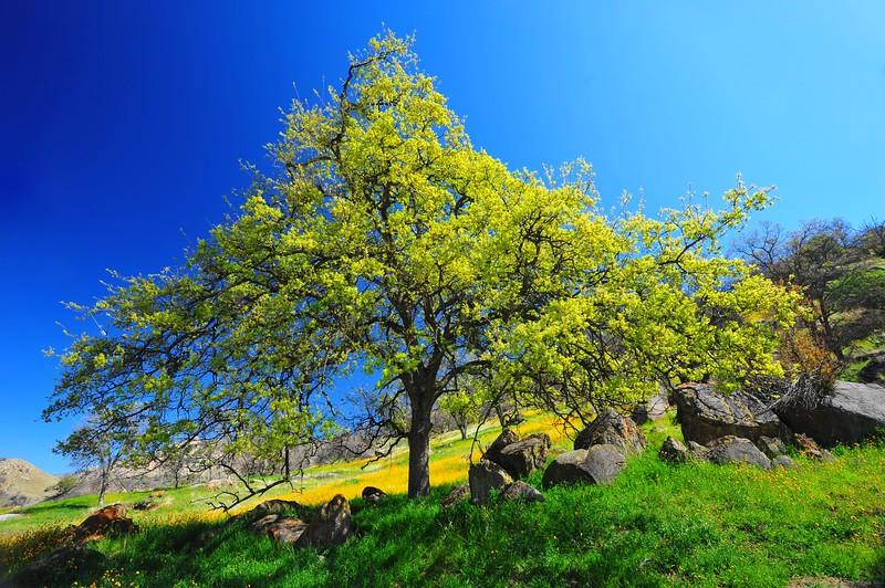 Sequoia 015