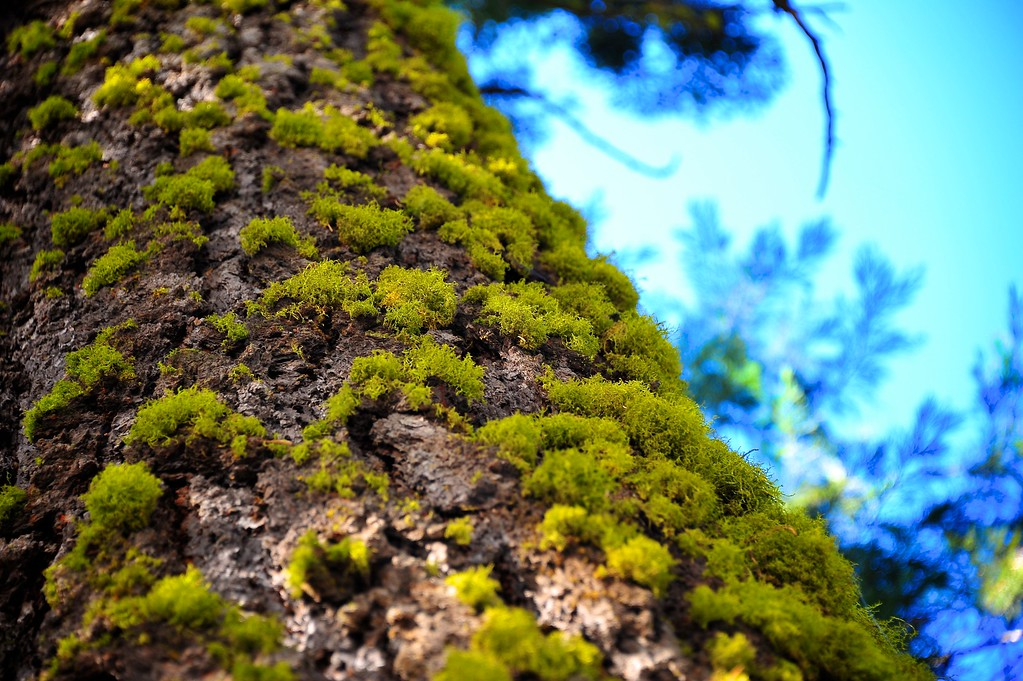 Sequoia 005