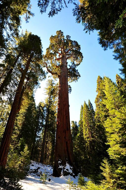 Sequoia 002