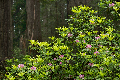 #44 - Rhododendron and Redwoods.  Redwoods NP, June