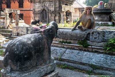 #31. Backstory:  Monkey vs Stone Pig.  Outside Pashupatinath temple, Kathmandu.