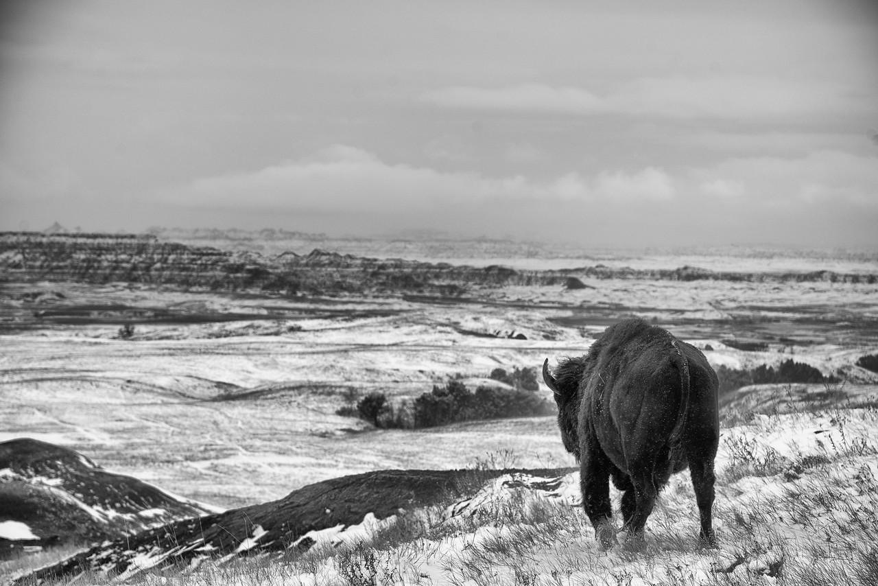 The Lonely Buffalo
