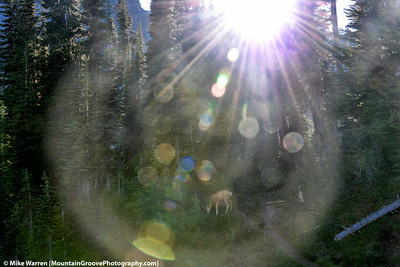#16 - When shooting into the sun, either fantastic things happen, or you end up with garbage!  Here I intentionally shot into the sun, which caused a lens flare encompassing the object of my shot, a deer grazing outside of our camp near Lyman Lakes, in September.