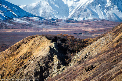 #43 - A grizzly bear descends a steep slope near the Denali Road, in an image taken in Alaska in September.