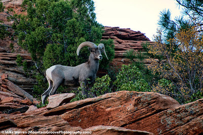 #20 - A bighorn sheep strikes a pose during my November Zion workshop.