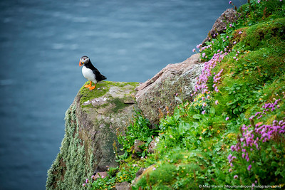 Puffin on Nanda Island, Scotland, in June.