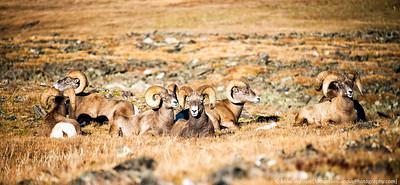 Big horn sheep, RMNP, in September.