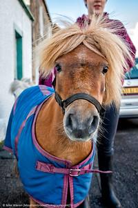 Shetland Pony, Scotland, in June.