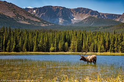 Elk in Bierstadt Lake, RMNP, in September.