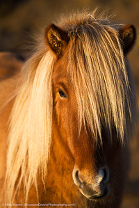 An Icelandic horse, November.