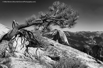 "#12 - In 1940, Ansel Adams created one of his more famous Yosemite images, ""Jeffrey Pine and Sentinel Dome."" Unfortunately Adams' Jeffrey Pine (Jeffrey is a species of pine tree, Adams did give the tree a name - that is something John Muir would have done!) died in a drought in 1977 and toppled over in 2003. But I found my own Jeffrey Pine on top of Sentinel Dome!  Handheld, f/11, 1/320, ISO200"