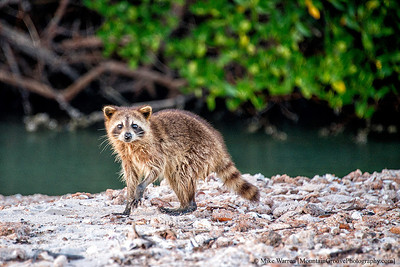 About our only wildlife on the island.  A pesky raccoon.