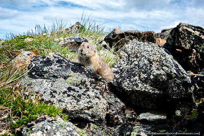 A friendly Pika on the summit