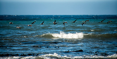 Pelicans, swooping close to the sea looking for fish!
