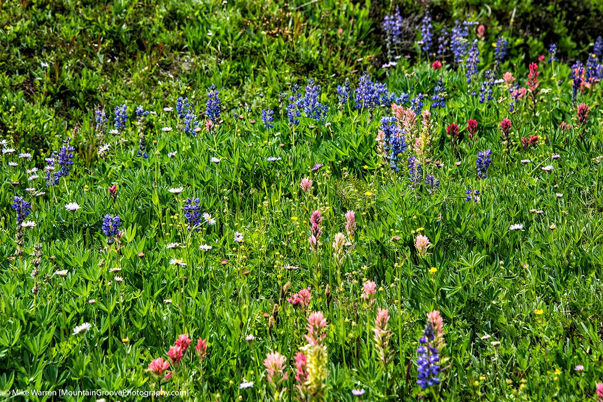 Wild flowers at Bird Creek Meadows