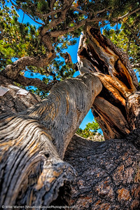 Gnarled old pine tree at Lake Haiyaha