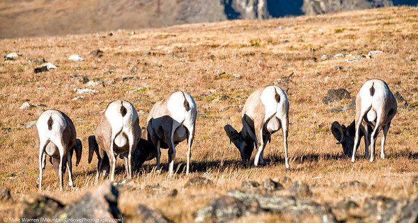 Big horn sheep, showing their better side!