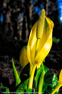 Skunk cabbage in bloom in this early season.