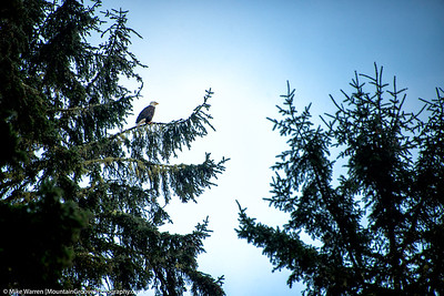 One of frequent sightings of bald eagles.
