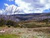 Dead Snow Gums (from the 2003 bushfires). Near Kiandra in Kosciuszko National Park, NSW.
