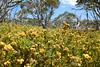 Davies High Plain, Alpine National Park, Victoria. Bacon & Egg Plants.