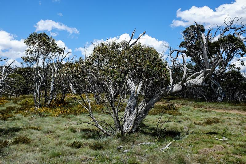 Davies High Plain, Alpine National Park, Victoria. Resprouting snow gum.