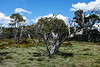 Davies High Plain, Alpine National Park, Victoria. Resprouting snow gum.