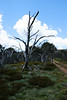 After the 2003 fire, Davies High Plain, Alpine National Park, Victoria.
