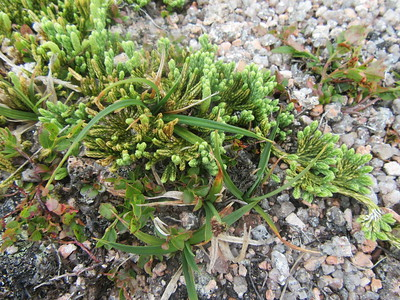 Alpine Club Moss