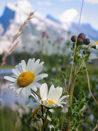 Banff Daisy