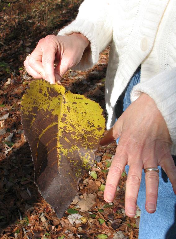 Now that's a leaf!<br /> Santee National Wildlife Refuge - November 23, 2006