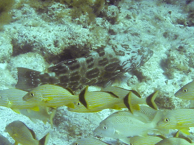 A young Grouper on the bottom