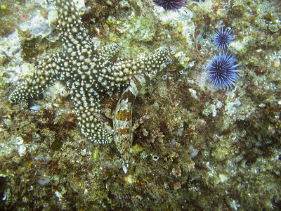 A Kelpfish and a Starfish