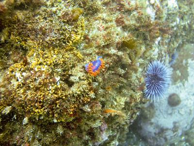 A Spanish Shawl nudibranch