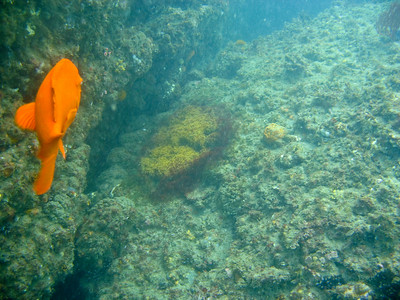 Garibaldi guarding its patch of eggs