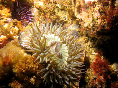 A white anemone open and feeding.
