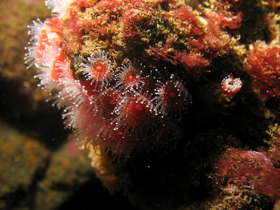A colony of polyps.