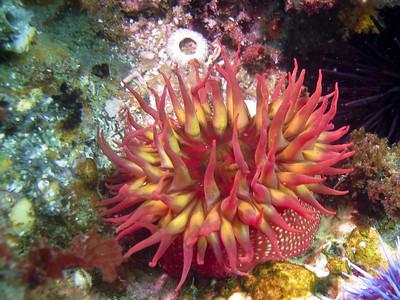 A nice rose anemone.