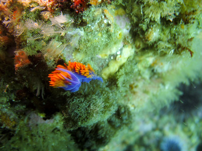 Another spanish shawl nudibranch.