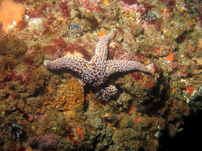 A spiny seastar