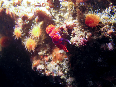 A spanish shawl nudibranch moving in the surge.
