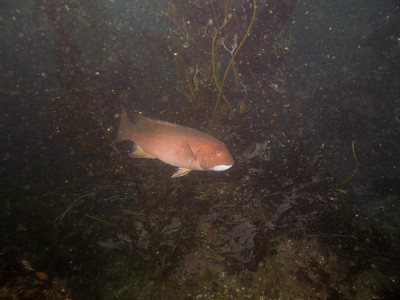 A sheephead moving through the kelp.