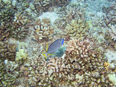 A triggerfish