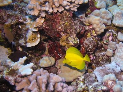 A Yellow Tang