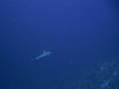 A couple of Grey Reef sharks were cruising Molokini