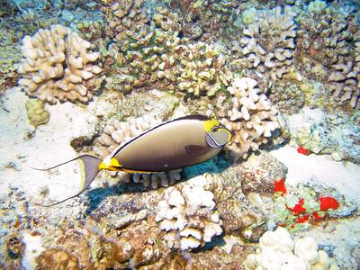 A Surgeonfish