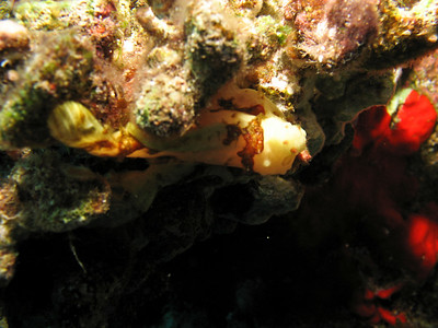 Frogfish hiding.
