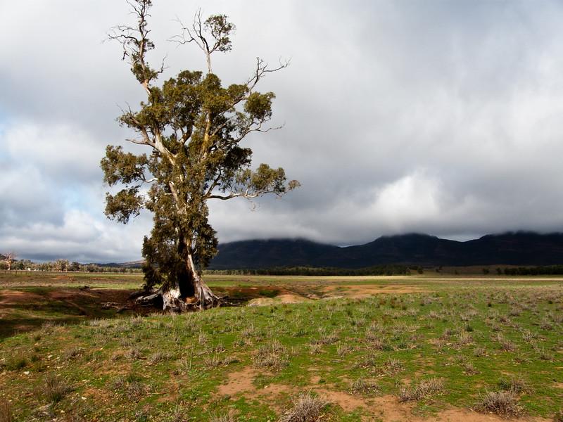The Famous Cazneaux Tree