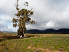 The Famous Cazneaux Tree